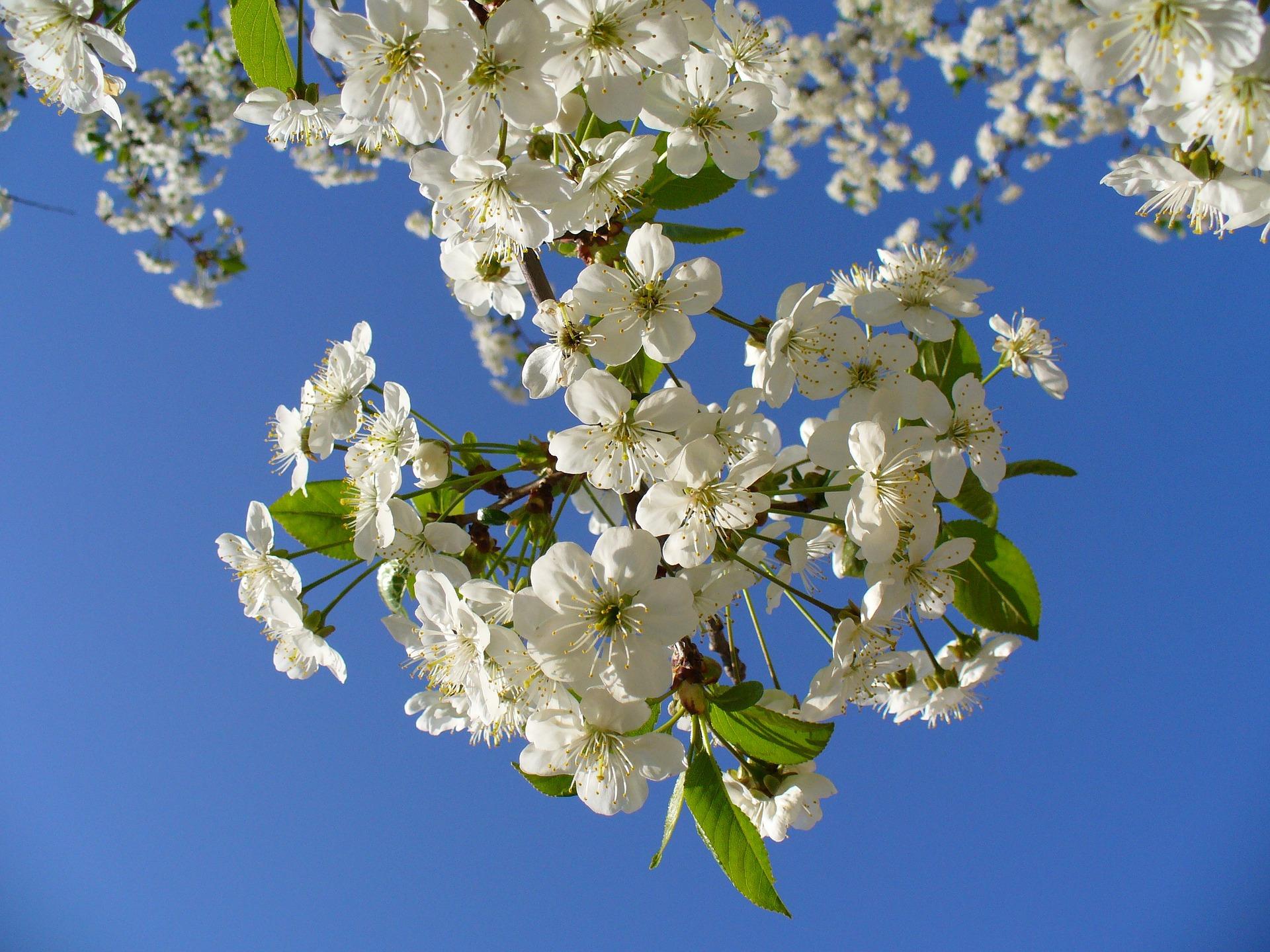 cherry-tree-93737_1920